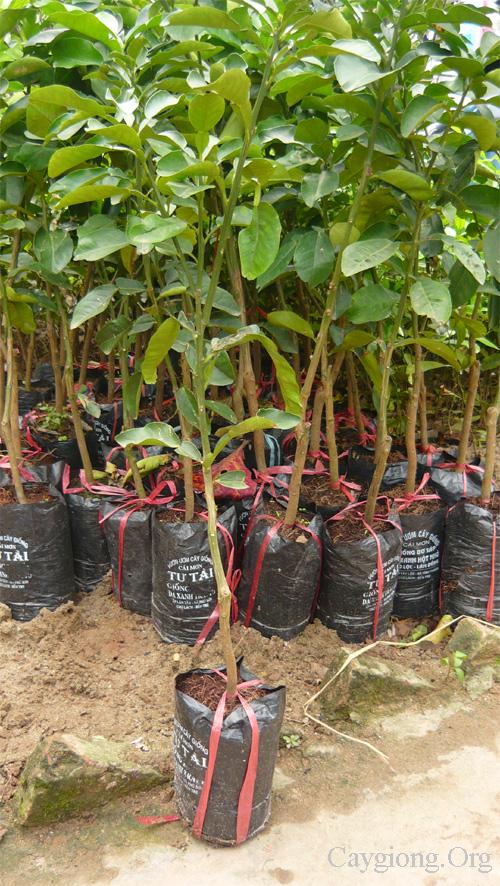 Thú nuôi, cây cảnh: Cung cấp các loại giống cây trồng, giống cây ăn quả Cay-buoi-da-xanh