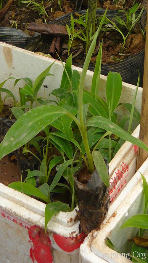 Thú nuôi, cây cảnh: Cung cấp các loại giống cây trồng, giống cây ăn quả Chuoi-tay-giong