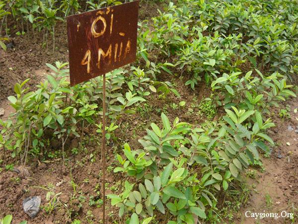 Thú nuôi, cây cảnh: Cung cấp các loại giống cây trồng, giống cây ăn quả Giong-oi-bon-mua