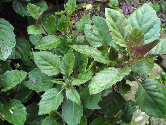 Rau lủi - Gynura bicolor