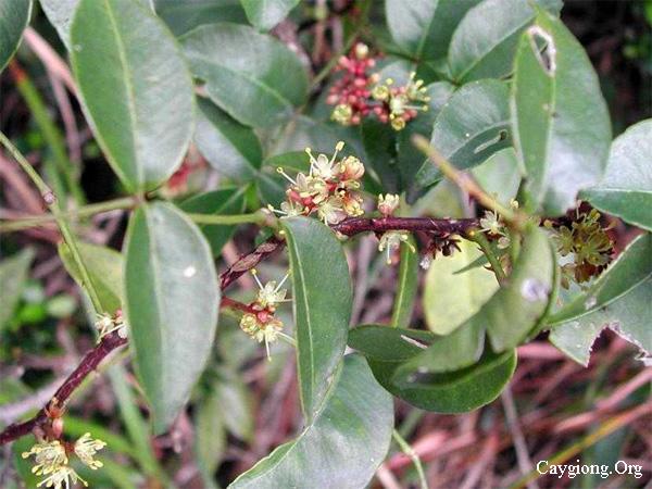 Cây Sâng, sưng, xuyên tiêu, Zanthoxylum nitidum Roxb