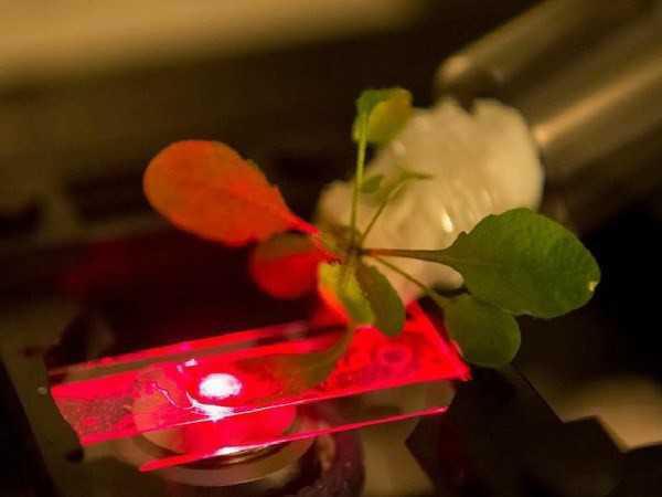 nhà khoa học sử dụng kính hiển vi cận hồng ngoại để đọc các dữ liệu của các cảm biến gắn ở ống nano được cấy dưới lá cây