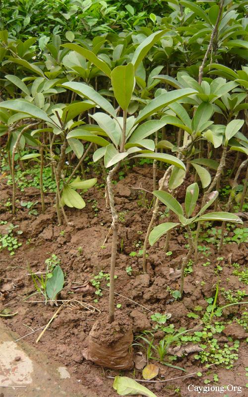 Thú nuôi, cây cảnh: Cung cấp các loại giống cây trồng, giống cây ăn quả Cay-hong-xiem-giong